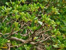 Pittosporum tobira Obrazy Royalty Free