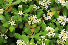 Pittosporum tobira Stock Photos