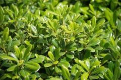 Pittosporum-tobira Nana in einem grünen Hintergrund stockfotos