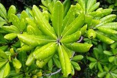 Pittosporum-tobira oder australischer Lorbeer - Regentropfen auf frischen grünen Blättern stockbilder