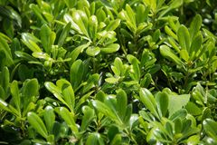 Pittosporumtobira Nana op een groene achtergrond royalty-vrije stock fotografie
