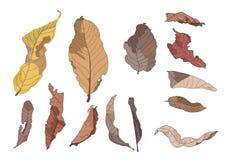 Pittura asciutta della foglia di Brown di colore sul vettore bianco dell'illustrazione del fondo illustrazione di stock