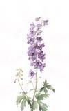 Pittura dell'acquerello del Delphinium Fotografie Stock Libere da Diritti