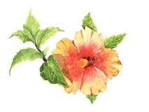 Pittura dell'acquerello del fiore dell'ibisco con la foglia Fotografia Stock