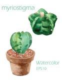 Pittura dell'acquerello di obesa dell'euforbia di cactus sul backgroun bianco Fotografia Stock Libera da Diritti