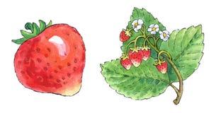 Pittura dell'acquerello di un insieme di frutta: fragole Fotografia Stock Libera da Diritti