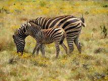 Pittura della zebra del bambino e della madre fotografia stock libera da diritti