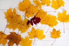 Pittura di giallo di autunno delle foglie di acero Fotografia Stock