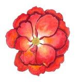 Pittura di rosa dell'acquerello di colore rosso Fotografia Stock