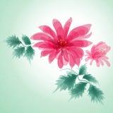 Pitture rosa dell'acquerello del crisantemo Fotografia Stock Libera da Diritti