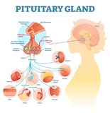 Pituitary gland anatomical vector illustration diagram, educational medical scheme. With brain and hormone types Royalty Free Stock Photography