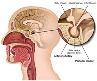 Pituitary gland anatomy 3d medical vector illustration isolated on white background hypothalamus in human brain. Eps 10 infographic royalty free illustration