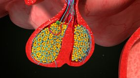 Pituitary gland Stock Images