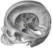 Pituitary Gland - Skull & Brain Cutaway Revealing the Location Stock Photos
