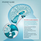Pituitary gland vector Royalty Free Stock Images