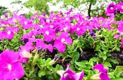 Pitunia-Garten Lizenzfreie Stockbilder
