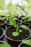 Pitunia seedlings in plastic flower pots Royalty Free Stock Image