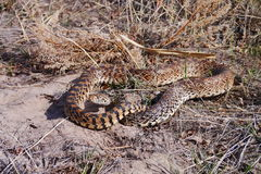 Pituophis catenifer sayi. The bullsnake (Pituophis catenifer sayi) is a large nonvenomous colubrid snake endemic to the central United States, northern Mexico Royalty Free Stock Photos
