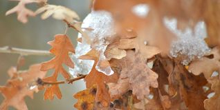 Snowing on an oak tree, winter concept. Piture of a snowing on an oak tree, winter concept Royalty Free Stock Image