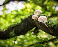 Delicate Mushrooms Growing on a Branch royalty free stock image