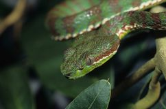 Pitviper. The pitviper, Trimeresurus venustus, is a nocturnal rainforest hunter with heat sensitive pits Royalty Free Stock Photography