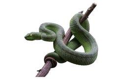 Pitviper vert aux yeux grands ou vipère de vipère de mine ou asiatique verte de mine Photos libres de droits