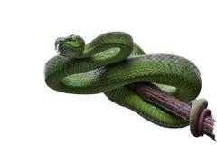 Pitviper vert aux yeux grands ou vipère de vipère de mine ou asiatique verte de mine Photos stock
