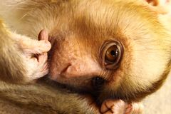 A pity baby monkey Stock Images