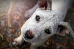 Pity dog. I saw this pitiful dog, its eyes look seem full of sadness and hungriness inside Stock Images