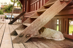 A pity dog. A pity dog lives under a wooden staircase Stock Photography