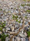 Pityocampa procesional de Thaumetopoea de las orugas del pino fotos de archivo
