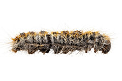 Pityocampa Processionary de Thaumetopoea da espécie do pinho de Caterpillar Fotografia de Stock Royalty Free