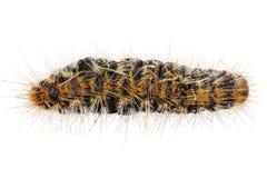 Pityocampa Processionary de Thaumetopoea da espécie do pinho de Caterpillar Imagens de Stock Royalty Free