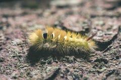 Pityocampa Processionary m de Thaumetopoea da espécie do pinho de Caterpillar Imagem de Stock Royalty Free