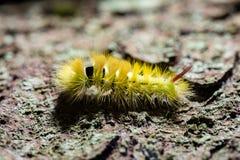 Pityocampa Processionary m de Thaumetopoea da espécie do pinho de Caterpillar Fotos de Stock