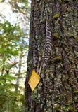 Piuma attaccata al pino fotografia stock libera da diritti