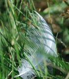 Piuma bianca tessuta all'interno di erba Fotografia Stock Libera da Diritti