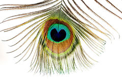piuma colorata Multi e brillante della coda del pavone Fotografia Stock