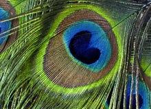 piuma colorata Multi e brillante della coda del pavone Fotografia Stock Libera da Diritti