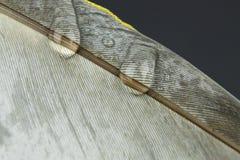 Piuma con macrofotografia di alta risoluzione delle goccioline di acqua Immagini Stock