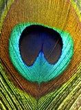 Piuma dei pavoni Fotografia Stock Libera da Diritti