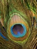 Piuma del pavone Immagine Stock Libera da Diritti