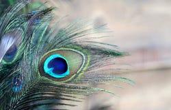 Piuma del pavone blu e verde Fotografia Stock Libera da Diritti