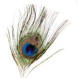 Piuma del pavone con la gocciolina di acqua Immagini Stock Libere da Diritti