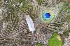 Piuma del pavone con la piuma del piccione Immagine Stock