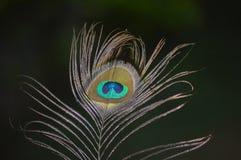 Piuma del pavone del pavone indiano immagine stock libera da diritti