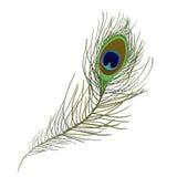 Piuma del pavone isolata Fotografia Stock Libera da Diritti