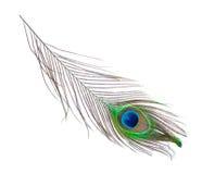 Piuma del pavone sul primo piano bianco Immagini Stock Libere da Diritti