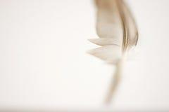 Piuma del piccione Fotografia Stock