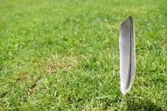 Piuma del piccione in erba fotografie stock